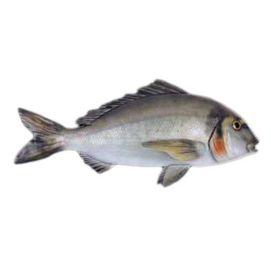 [해외]OMER Gilt Head Bream Fish Exposure
