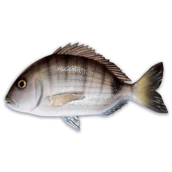 [해외]OMER Sargo Fish Exposure